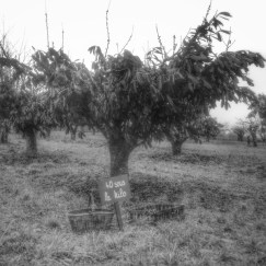 cerisier Irancy