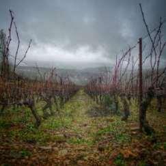 Dans le vignoble d'Irancy