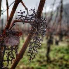 grappe oubliée dans le vignoble d'Irancy