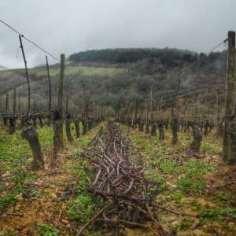 sarments dans le vignoble d'Irancy Bourgogne