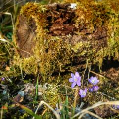 Anémones hépatiques sentier Bouton d'Or Val Suzon