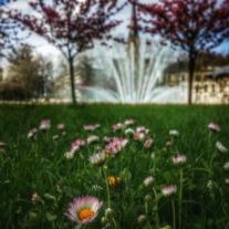 pâquerettes et fontaine Place Wilson Dijon