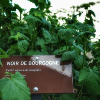 noir de Bourgogne Cassissium