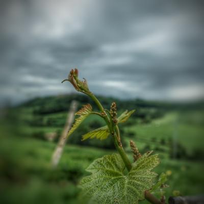 Vignoble en bourgeon Flavigny Alesia