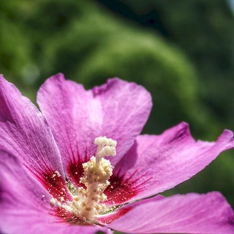 Rose trémière, Antheuil, Vallée de l'Ouche, Bourgogne