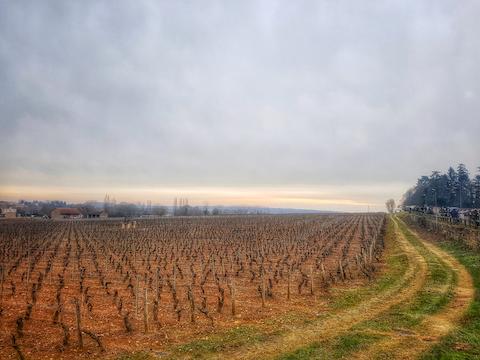 Vignes à l'entrée de Mercurey au lever du jour
